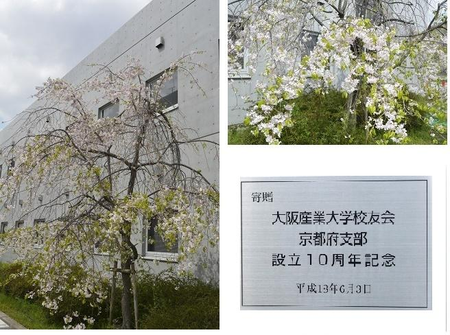 sakura_kyoto.jpg