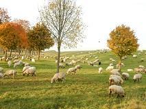 2-085 ヤギの群れ.JPG